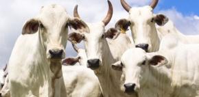 Servidores do Indea participam de operação que resultou na recuperação de cabeças de gado furtadas em Barra do Garças